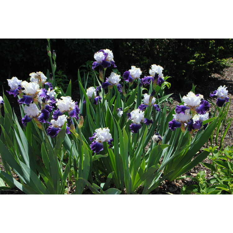 Iris 'Slovak Prince' - tall bearded iris