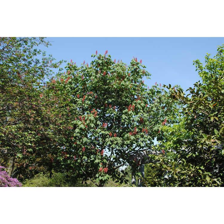 Aesculus pavia Splendens