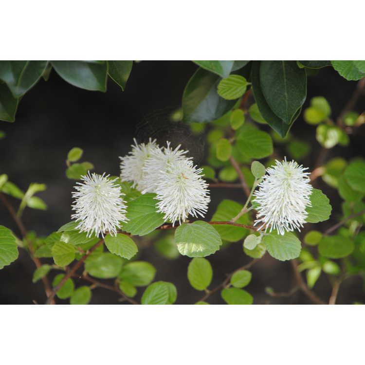 Fothergilla ×intermedia 'Red Licorice' - fothergilla