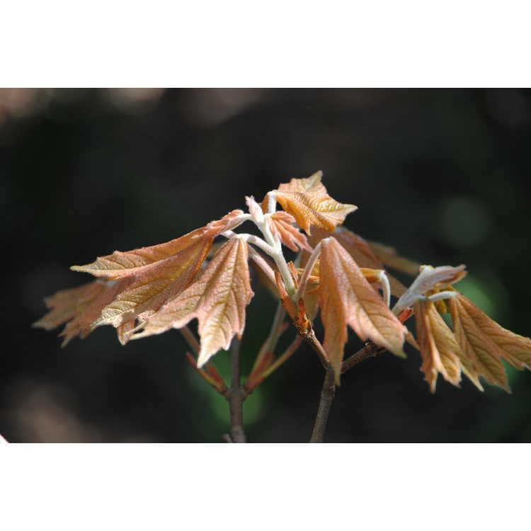 Acer skutchii