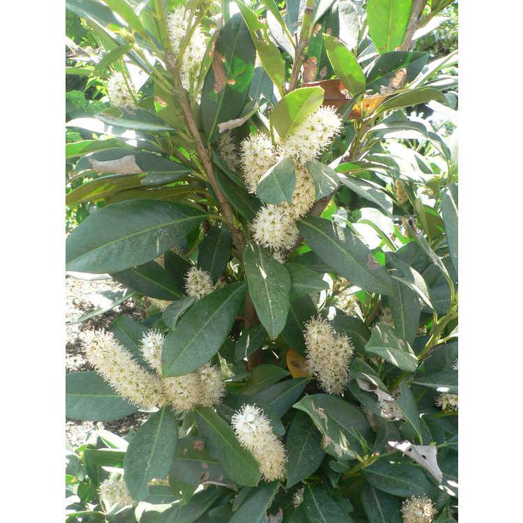 Prunus laurocerasus 'Majestic Jade' - common cherrylaurel