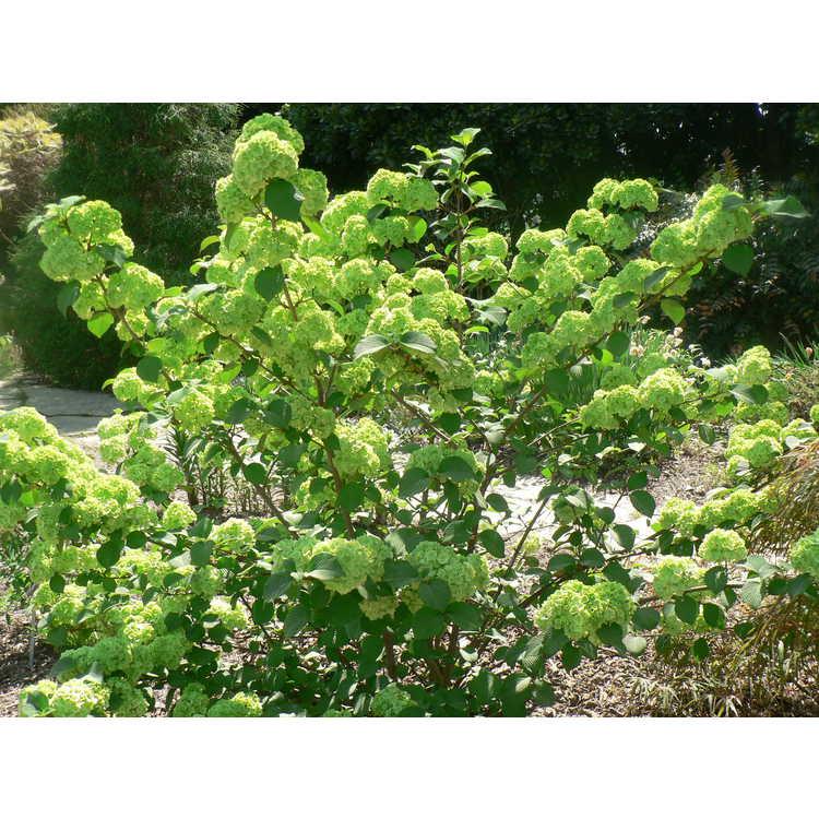 Viburnum plicatum 'Sawtooth'
