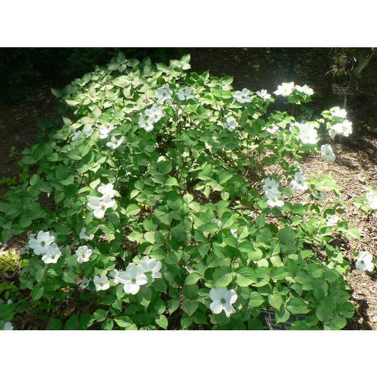 Cornus florida Suwanee Squat