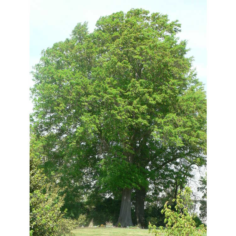Quercus phellos - willow oak