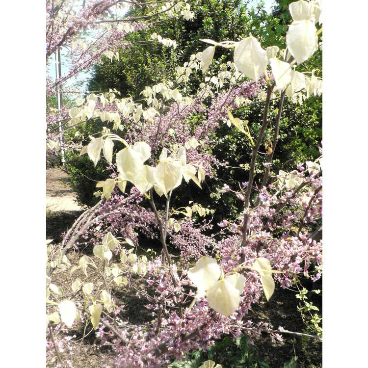 Cercis canadensis Amethyst Mist