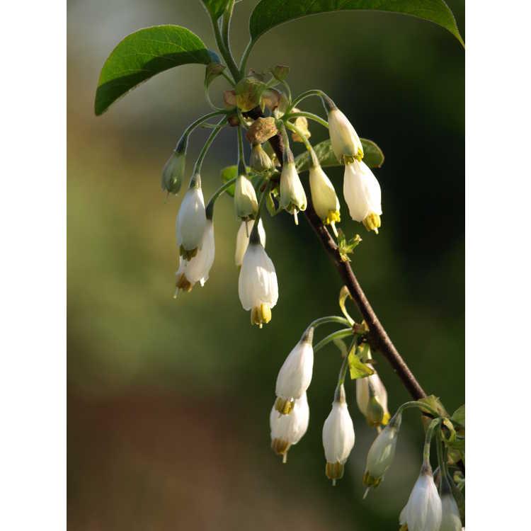 Halesia parviflora