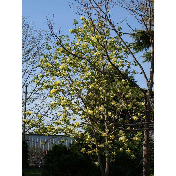 Magnolia Lois