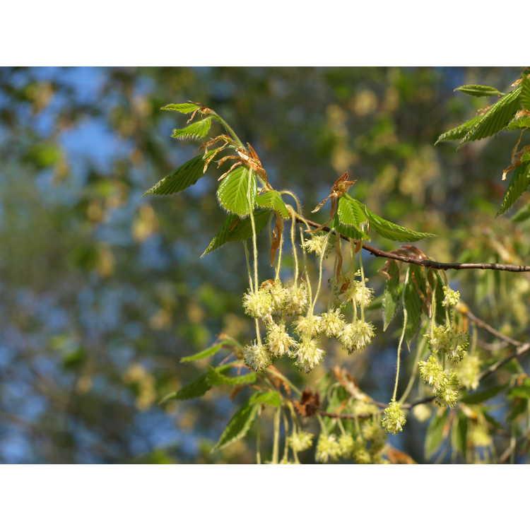 Fagus grandifolia