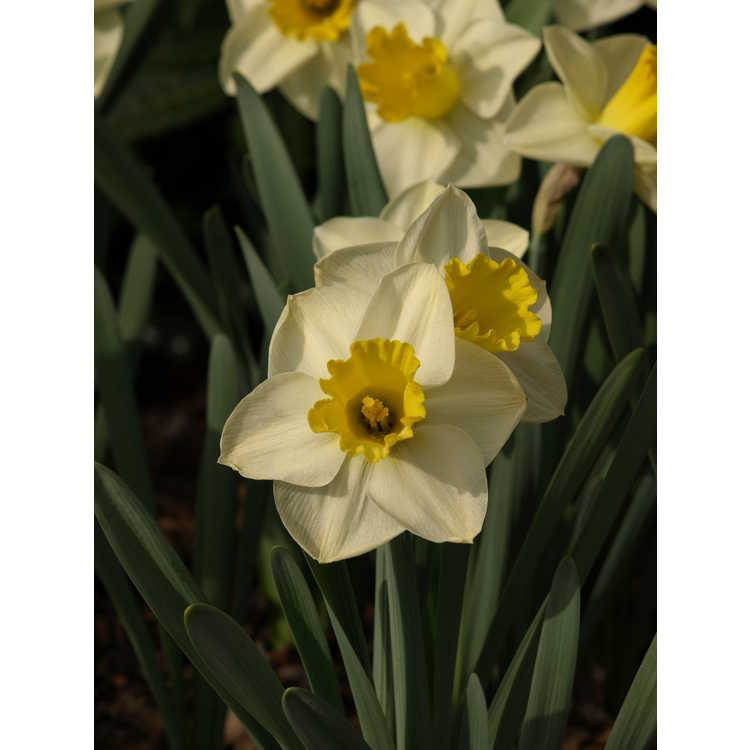 Narcissus Yellow Salome