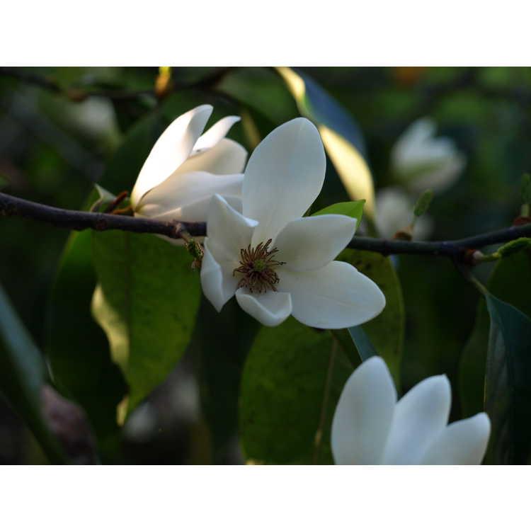 Magnolia (hybrid #3)
