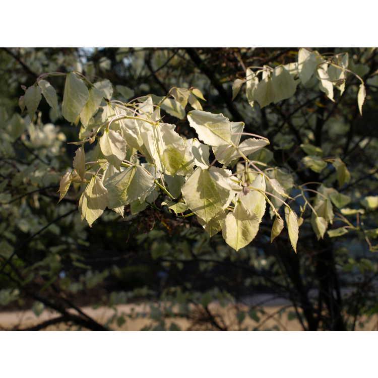 Cercis canadensis 'Amethyst Mist'