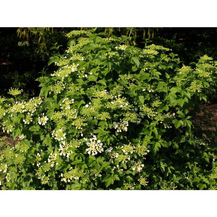 Viburnum sargentii 'Chiquita' - compact Sargent viburnum