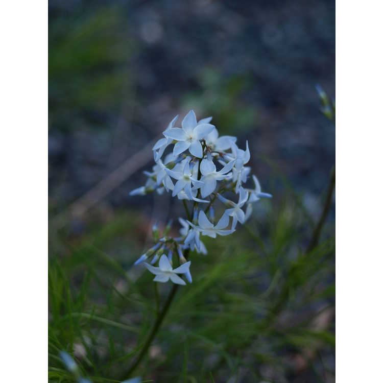 Amsonia ciliata var. filifolia 'Georgia Pancake' - threadleaf blue-star