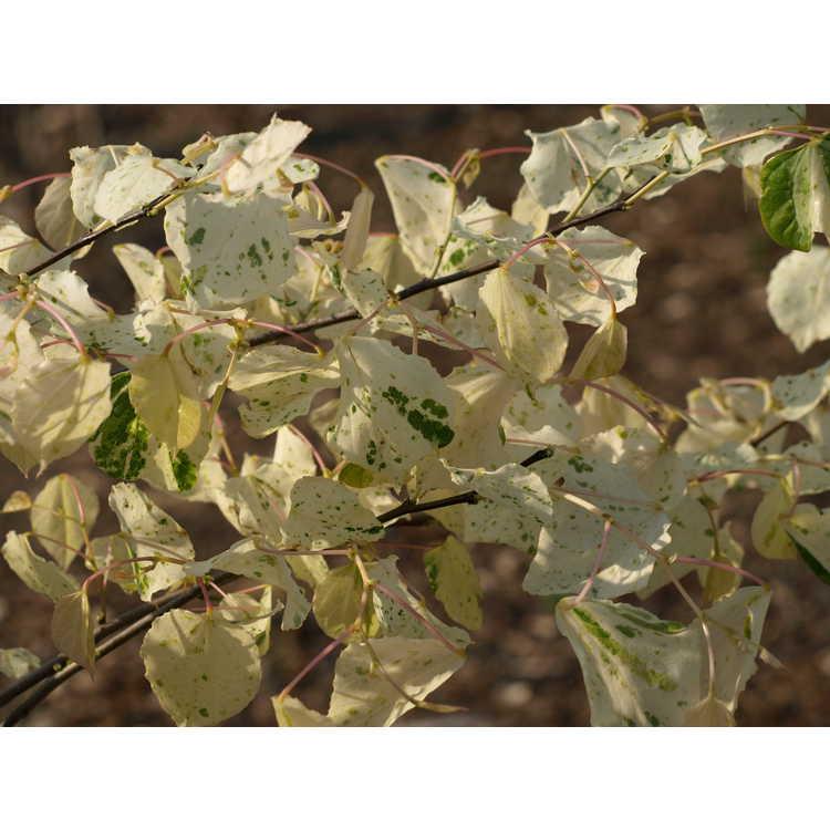 Cercis canadensis 'Gold Crown' - gold-leaf eastern redbud