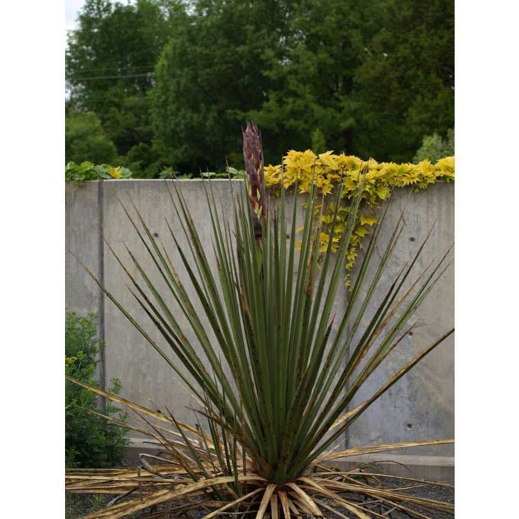 Yucca arizonica
