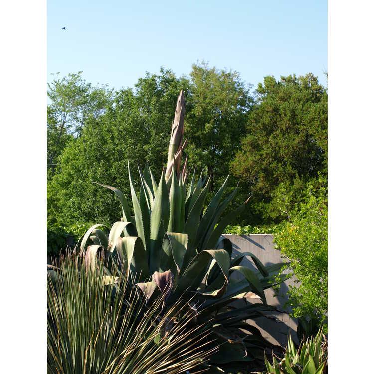 Agave salmiana - pulque agave