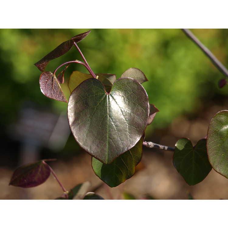 Cercis canadensis [Texensis Group] 'Merlot' - purple-leaf redbud
