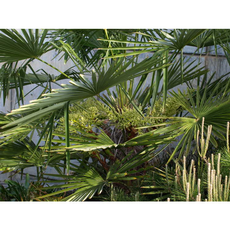 Trachycarpus fortunei Bulgaria