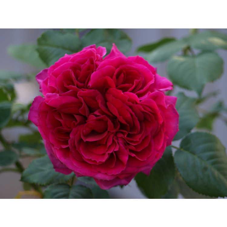 Rosa 'Auscrim'