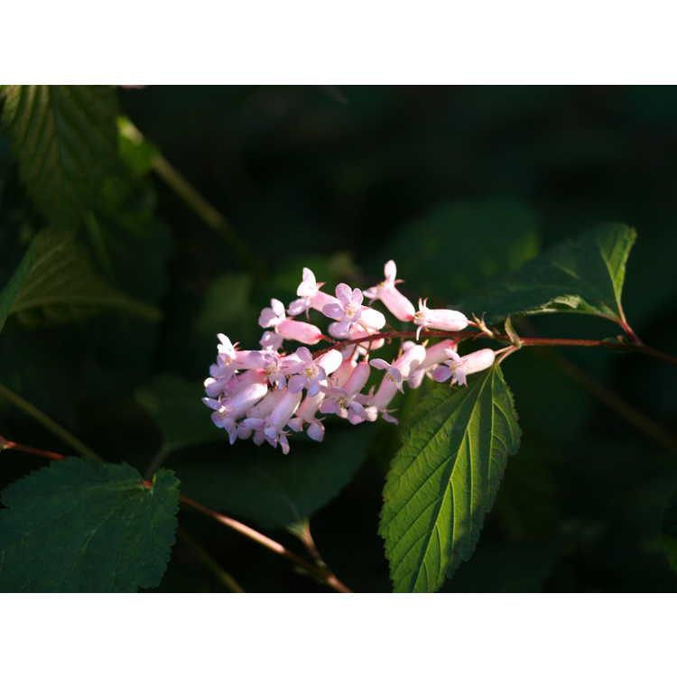 Neillia sinensis - Chinese neillia