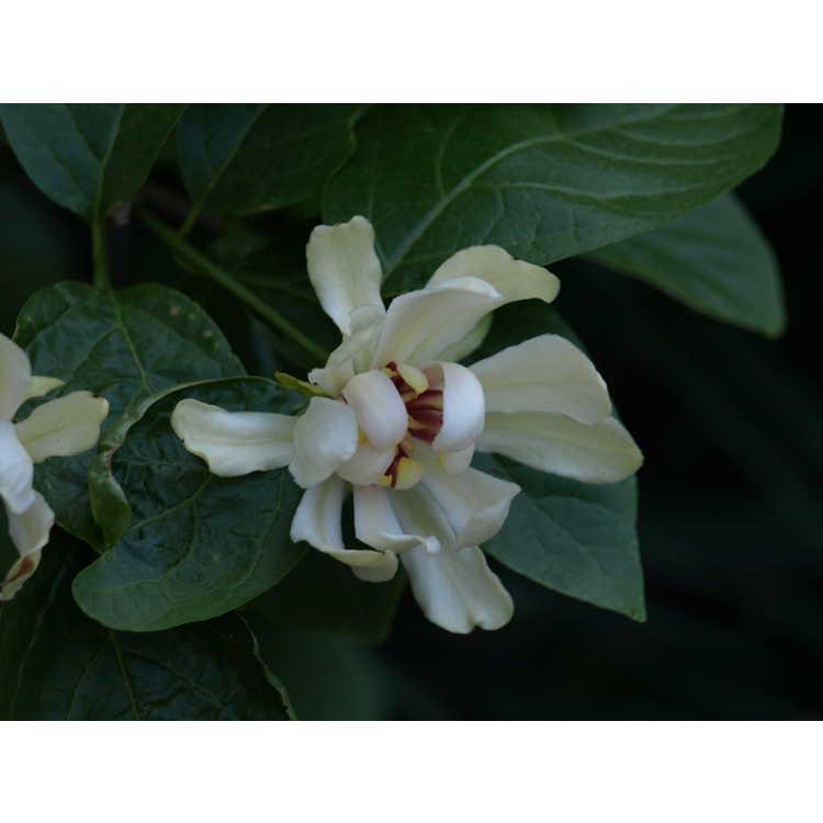 Calycanthus 'Venus' - hybrid sweetshrub