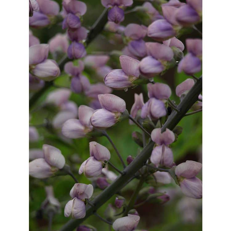 Baptisia (lavender) - lavender wild-indigo