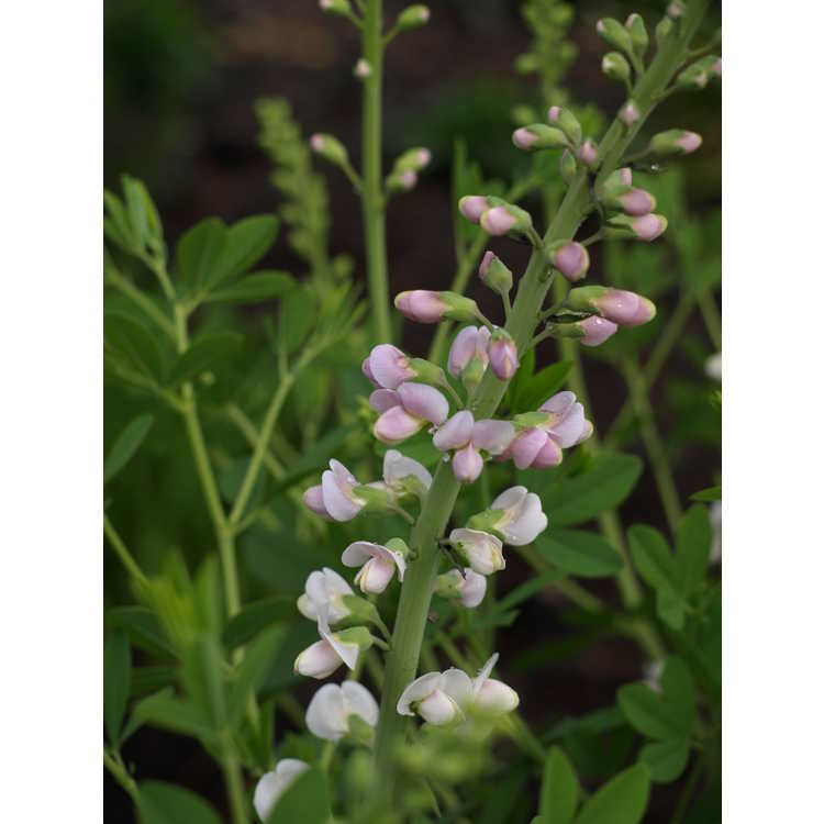 Baptisia (pale pink)