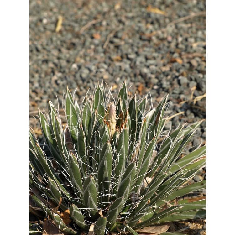 Agave parviflora - small-flowered agave