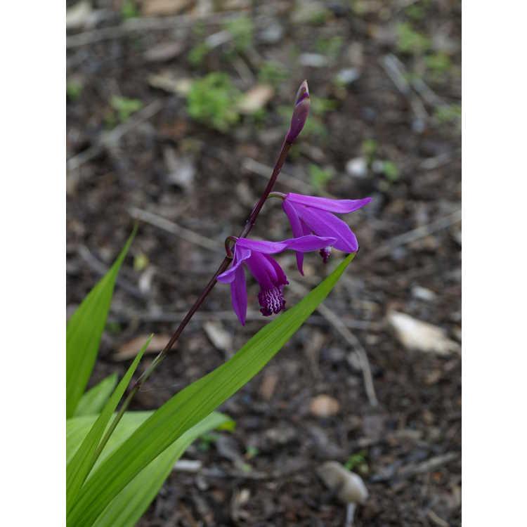 Bletilla striata 'Ogon' - gold-leaved ground orchid