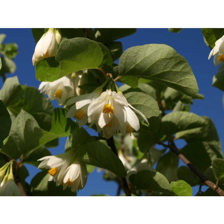 Styrax platanifolius subsp. texanus