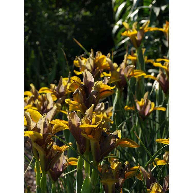 Iris 'Bronze Beauty'
