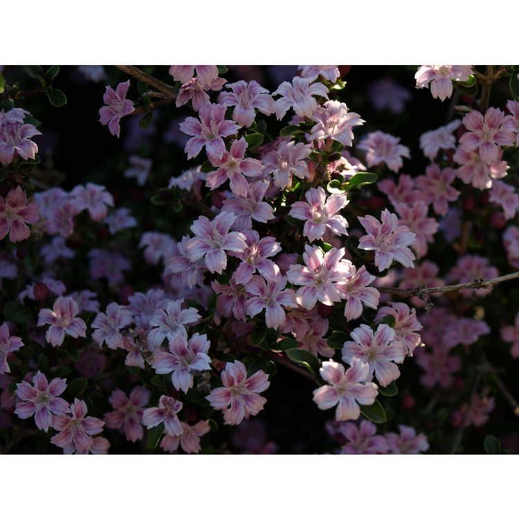 Serissa japonica Apple Blossom