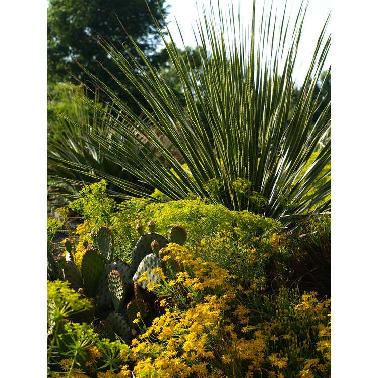 Euphorbia 'Dean's Hybrid'