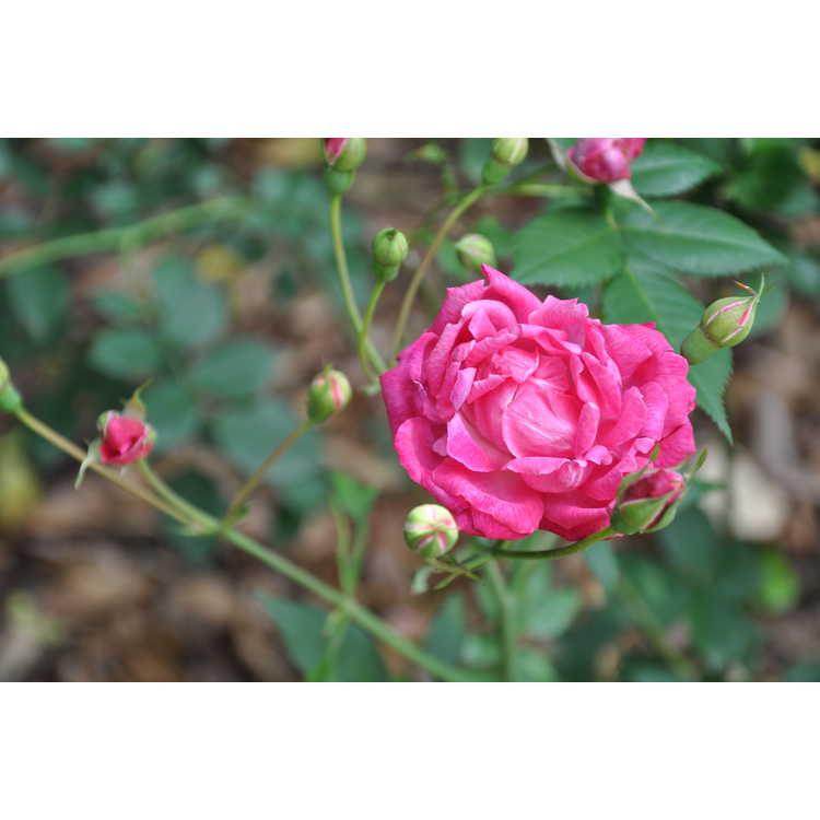 Rosa 'Louis Philippe'