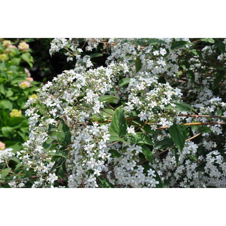 Deutzia setchuenensis corymbiflora