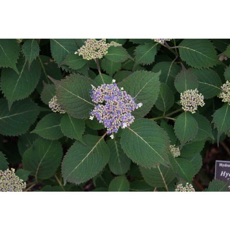 Hydrangea serrata Woodlanders