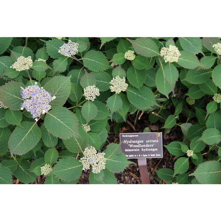 Hydrangea serrata 'Woodlanders' - mountain hydrangea