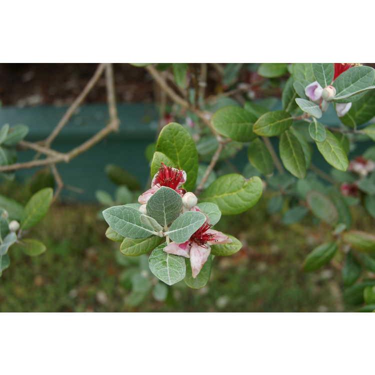 Acca sellowiana 'NCSU Hardy' - pineapple guava