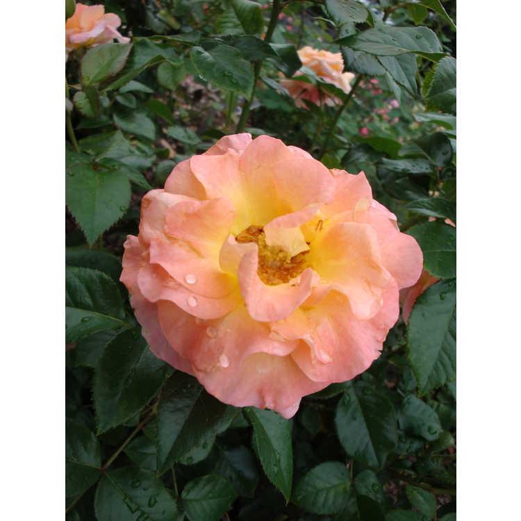 Rosa 'Frycentury' - Day Breaker floribunda rose