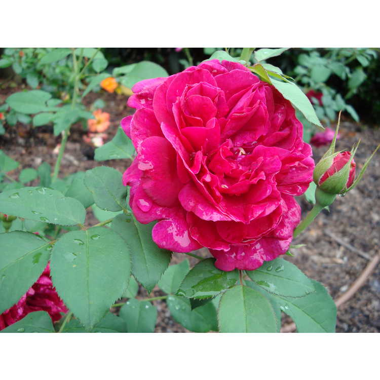 Rosa 'Ausdecorum' - Darcey Bussell shrub rose