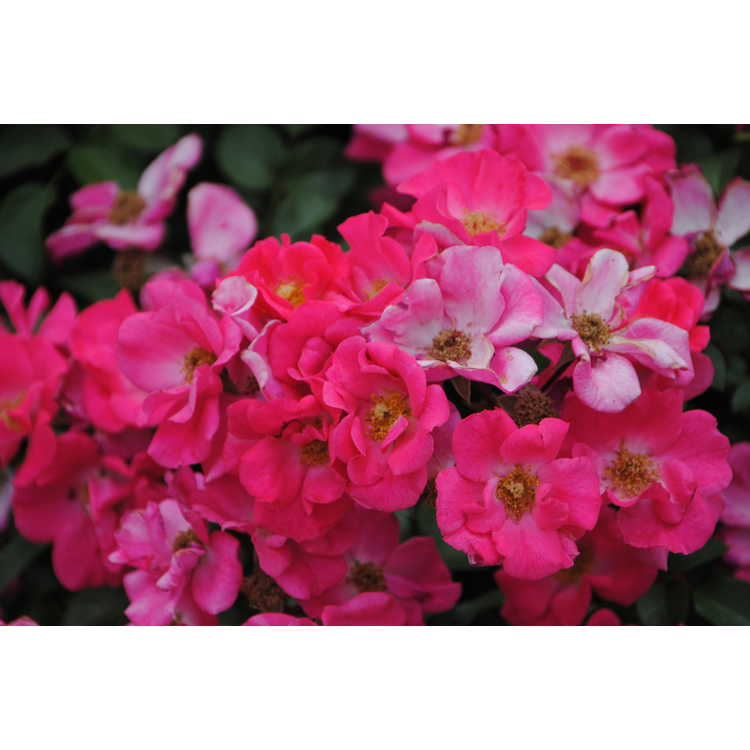Rosa 'Wild Thing' - shrub rose