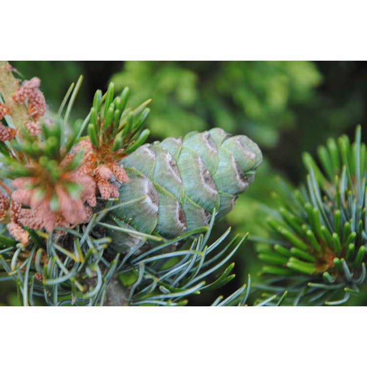 Pinus parviflora 'Brevifolia' - Japanese white pine