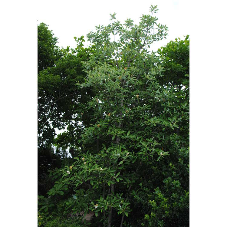 Magnolia virginiana var. australis (Louisiana form)
