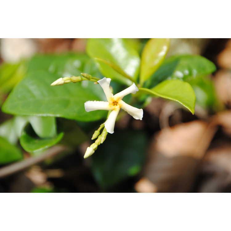 Trachelospermum jasminoides 'Raulston Hardy' - Confederate jessamine