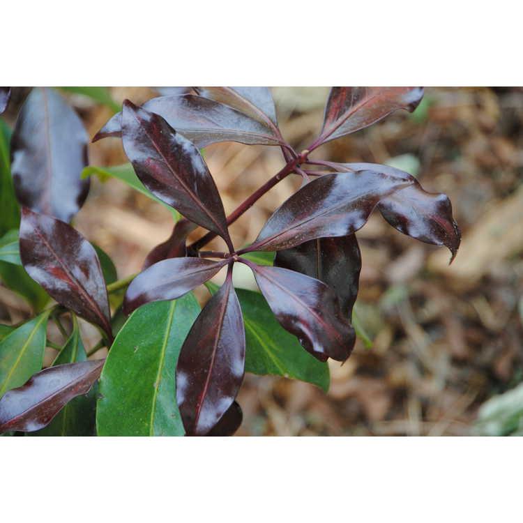Illicium anisatum 'Murasaki-no-sato'