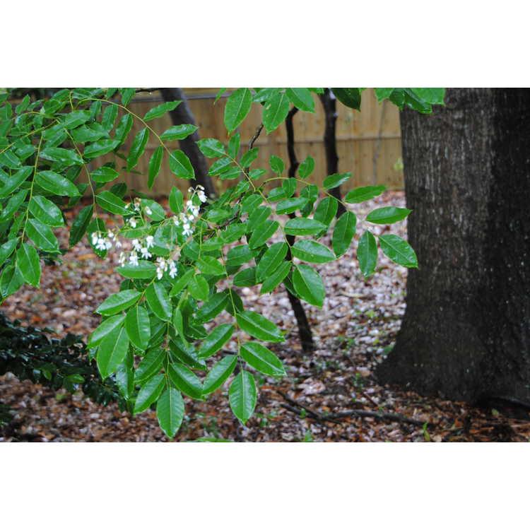 Cladrastis platycarpa - Japanese yellowwood