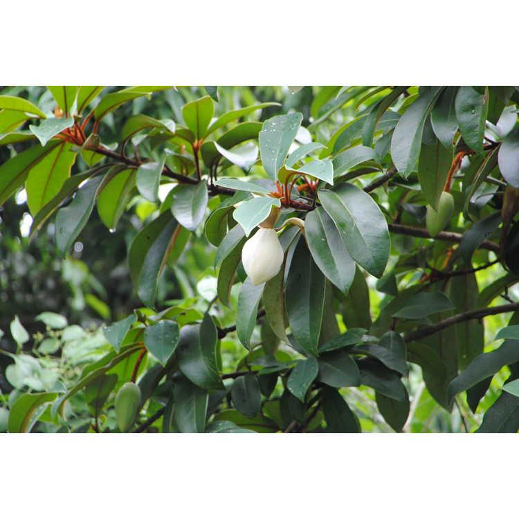 Magnolia kwangtungensis