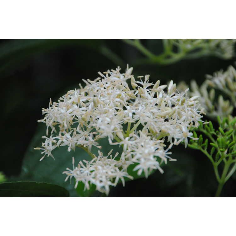 Cornus macrophylla - bigleaf dogwood