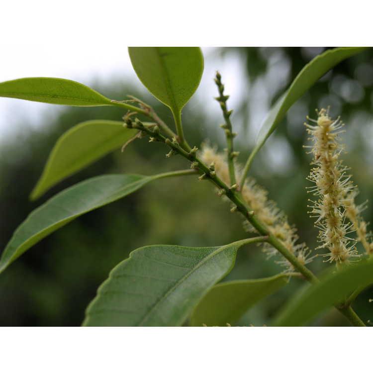 Castanopsis cuspidata