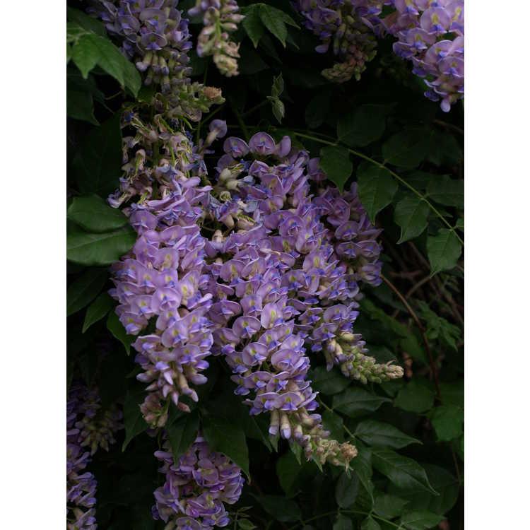 Wisteria macrostachya 'Aunt Dee' - Kentucky wisteria